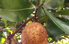 Антильский абрикос