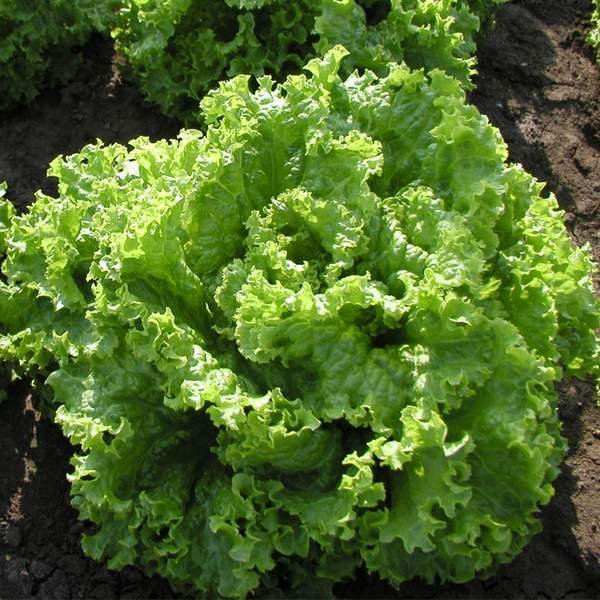 Батавия - салат