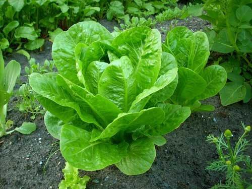 Латук - салат