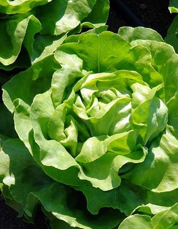 Маслянистый салат