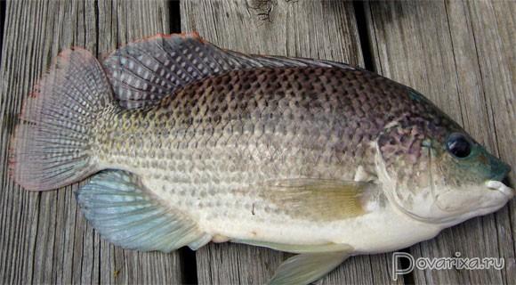 Рыба тилапия где водится