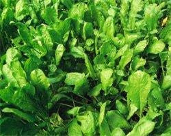 Разновидность салатов растение